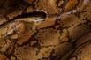 Estampados Snake Caramelo (p/m/g)