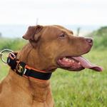Coleira Para Cachorro Fit Lite (preto e laranja)
