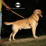 Peitoral Tradicional Amorosso® (bege e marrom) + Guia Curta 80cm