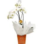 Orquídea Pra Ser Feliz