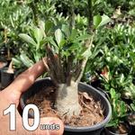 10 Rosas Do Deserto 6 a 9 Meses Cores Sortidas