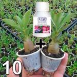 KIT 10 Mudas De Rosa do Deserto 3 a 5 Meses + Fertilizante