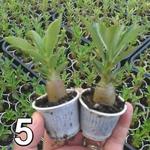 05 mudas de rosa do deserto 3 a 5 meses - cores sortidas - Adenium Obesum