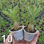 10 mudas de rosa do deserto - Adenium Obesum 3 a 5 meses - cores sortidas
