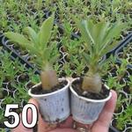 50 mudas de rosa do deserto 3 a 5 meses - cores sortidas Adenium Obesum
