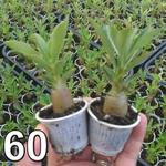 60 mudas de rosa do deserto 3 a 5 meses - cores sortidas Adenium Obesum