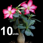 10 ROSA DO DESERTO 10 A 12 MESES