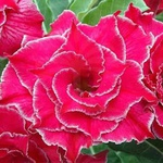 Rosa do Deserto Tripla Roxa ENTRANCING
