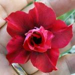 Rosa do deserto tripla F1 - 12 Meses