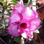 Rosa do deserto Tripla Roxa MAU