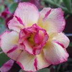 Rosa do Deserto Amarela Dobrada THONG