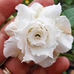 Rosa do Deserto Branca Tripla TS 285