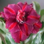 Rosa do deserto tripla TS-301 / TS 301 - 12 Meses