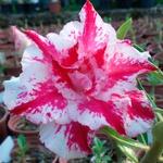 Rosa do Deserto Dobrada TS-69