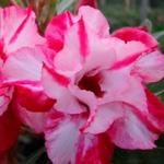 Rosa do Deserto Dobrada TW-8