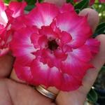 Rosa do Deserto Vermelha Tripla VT 5