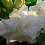 Rosa do Deserto Dupla Branca W3 / W-3