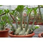 10 Sementes de Rosa do deserto Adenium Arabicum