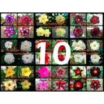 """10 Sementes de Rosa do Deserto - Adenium Obesum """"Multi Pétalas Mix"""""""