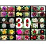 """30 Sementes de Rosa do Deserto - Adenium Obesum """"Multi Pétalas Mix"""""""