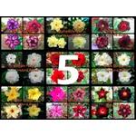 """5 Sementes de Rosa do Deserto - Adenium Obesum """"Multi Pétalas Mix"""""""