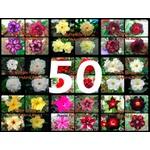 """50 Sementes de Rosa do Deserto - Adenium Obesum """"Multi Pétalas Mix"""""""
