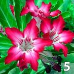 Kit 5 Sementes de rosa do deserto ADENIUM SOMALENSE