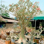 Kit 50 Sementes de rosa do deserto ADENIUM SOMALENSE