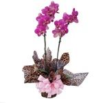 Orquídea Charming