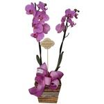 Orquídea Felicidade