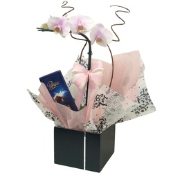 Orquídea Doce Surpresa - FLORABARIGUI