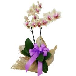 Flor de Orquidea - FLORABARIGUI