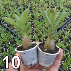 10 mudas de rosa do deserto - Adenium Obesum 3 a 5 meses - c... - ROSA DO DESERTO - Valmor Ademium