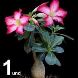 Mudas de rosa do deserto de 10 a 12 meses de idade e cores sotidas