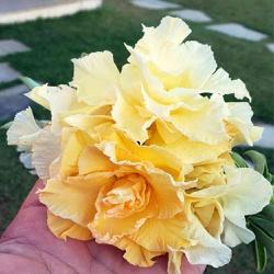 Rosa do Deserto Amarela Aurora