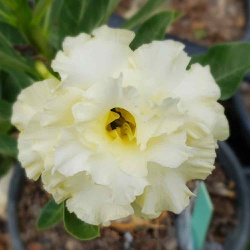 Rosa do Deserto amarela tripla Brigitte