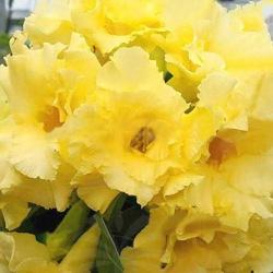 Rosa do Deserto Amarela tripla Joy Full