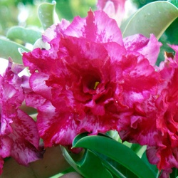 Rosa do deserto tripla M-8 / M8- 12 Meses - ROSA DO DESERTO - Valmor Ademium