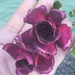 Rosa do Deserto PINOT NOIR