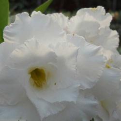 Rosa do Deserto Tripla Branca TS 305 - ROSA DO DESERTO - Valmor Ademium