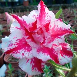 Rosa do Deserto Tripla mesclada TS-69