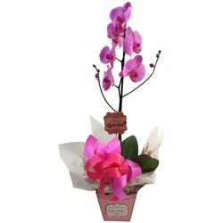 Orquídea Phalaenopsis para presente