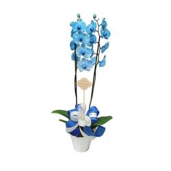 Orquídea Phalaenopsis azul para presente