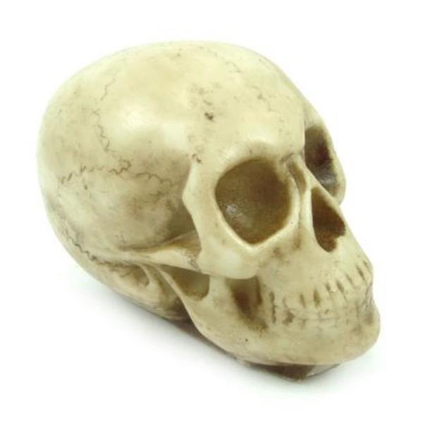 Crânio Pequeno Darwin