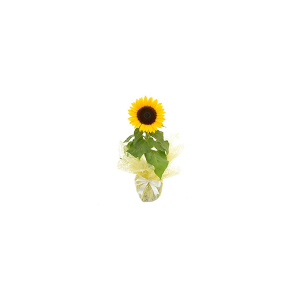 Girassol Plantado Presente