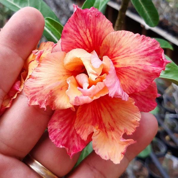 Rosa do deserto Orange Lover