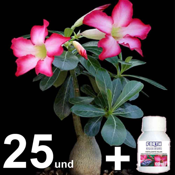 25 Mudas de rosa do deserto de 10 a 12 meses + Fertilizante