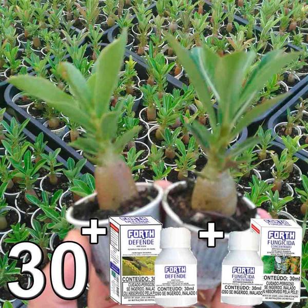 Kit promocional para cultivador caseiro com 30 mudas de rosa do deserto + Inseticida + Fungicida