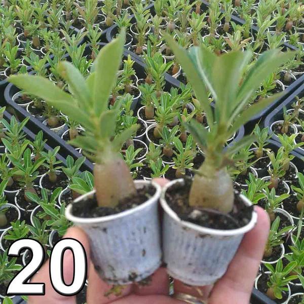 20 mudas de rosa do deserto 3 a 5 meses - cores sortidas - Adenium Obesum