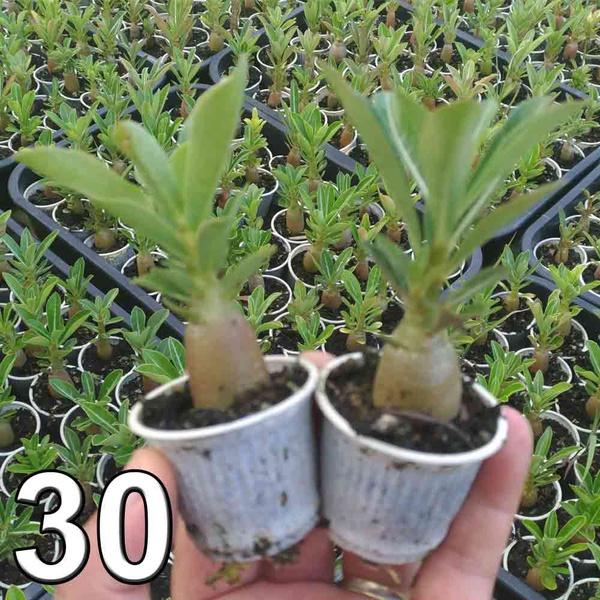 30 mudas de rosa do deserto 3 a 5 meses - cores sortidas - Adenium Obesum